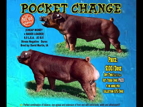 POCKET CHANGE bred by DCM HAMPSHIRES & DUROCS